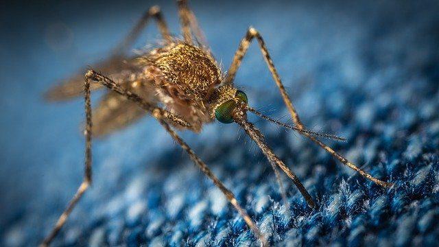 750 millions de moustiques génétiquement modifiés libérés en Floride